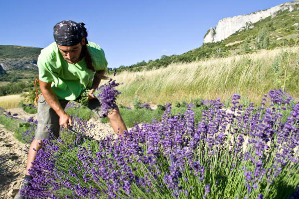 Das Bild zeigt einen Mann während der Lavendelernte