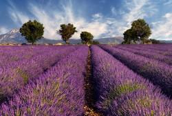 Provence_Lavendel_@Fotolia