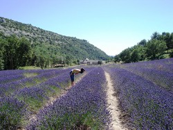 Provence_Lavendelfeld_@Fotolia_9239571