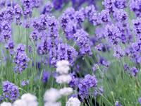lavendel_heipflanze